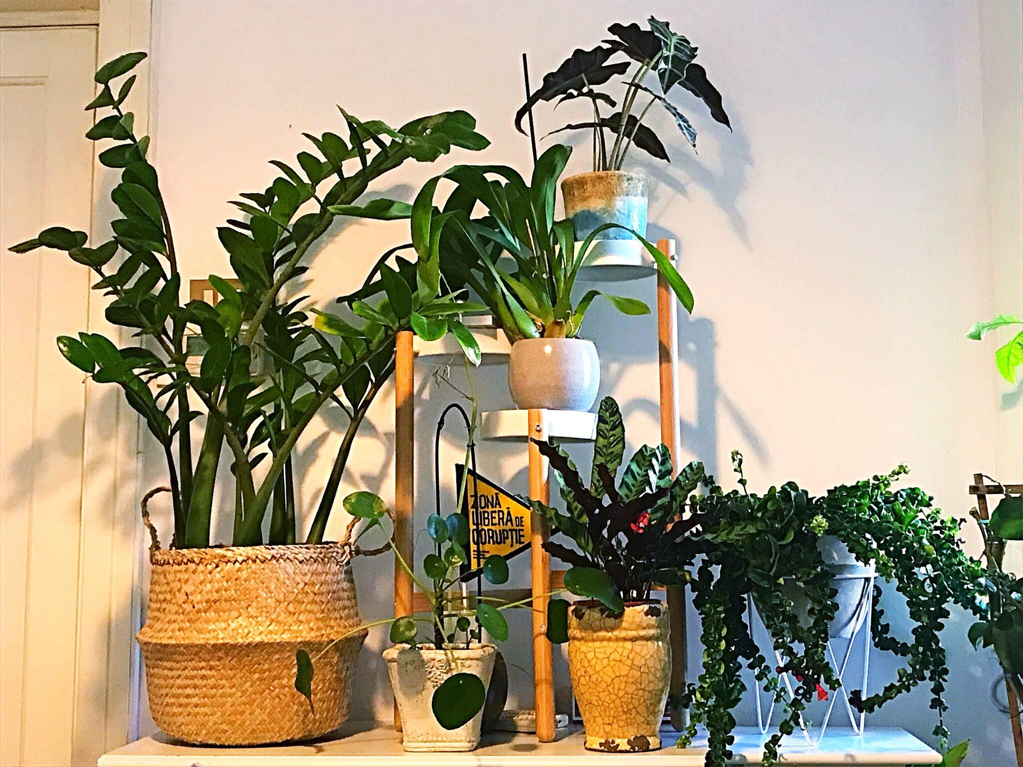 Prietenii verzi ai Dianei, sau cum începe pasiunea plantelor indoor