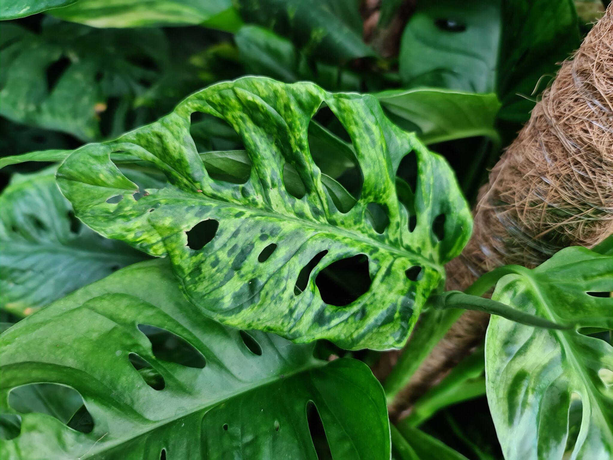 #prieteniiverziaidianei (14): Suferința plantelor, virusul mozaic